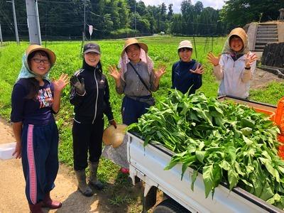 空芯菜収穫